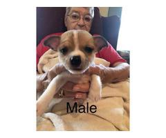 CKC registered Rat Terrier 1 male 1 female