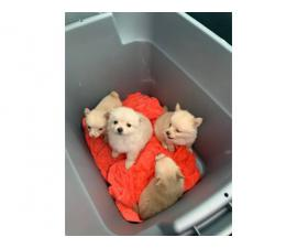 Pomchi Puppies Available Now