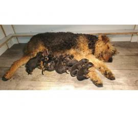Litter of 11 Airedale puppies