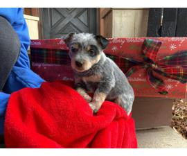 Blue heeler purebred puppies for sale