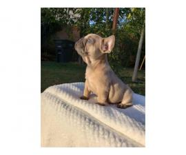7 weeks old AKC Frenchie puppies