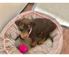 Brown Female Doberman Pinschers