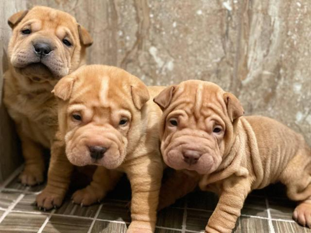 Shar Pei Pups Are Ready For New Homes