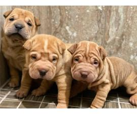 Three Shar-pei pups are ready for new homes