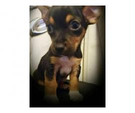 10 weeks old Chihuahuas for Sale