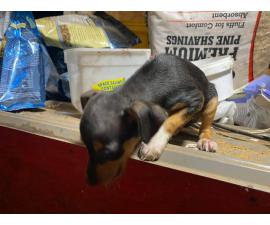 9 weeks old Male rat terrier puppy for sale