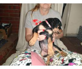 9 full-blooded Rottweiler puppies for sale