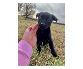 Male Pit / Lab Mix Puppy for rehoming