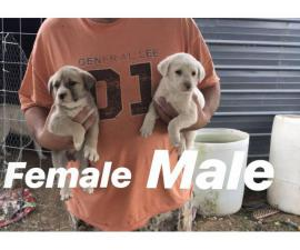 6 weeks old Great Pyrenees Puppies for sale