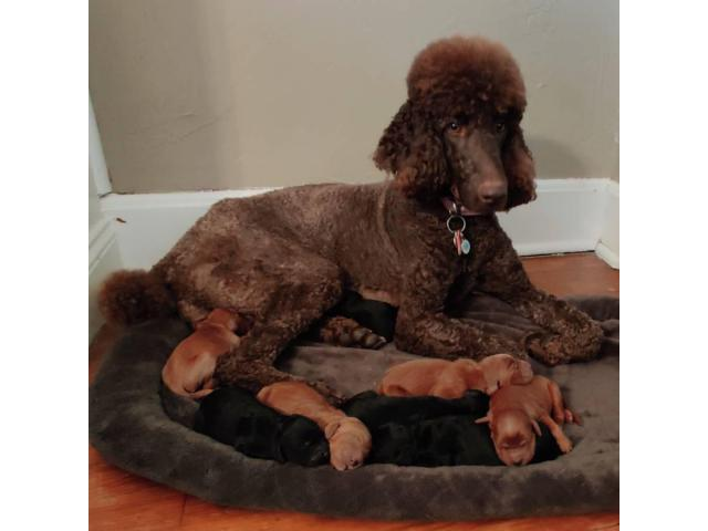 Standard Irish Doodle Puppies For Adoption In Cleveland