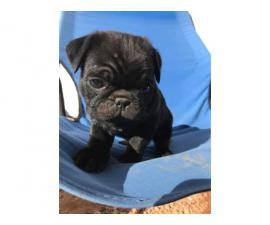 2 months old black pug puppy for sale