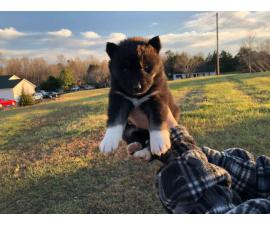 Full-blooded Siberian husky puppies for rehoming