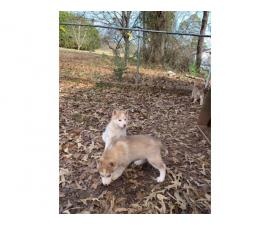 Charming white and red and piebalds pure bred husky puppies