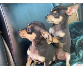 2 male brown and black standard chihuahua puppies