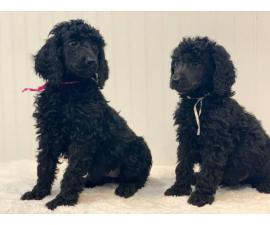 Rehoming 5 Standard Poodle Puppies full breed