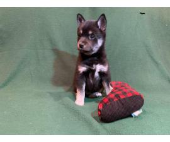 5 Alaskan Klee Kai Puppies Ready For Christmas