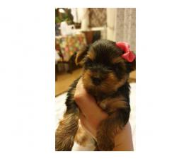 Lovely Male And Female Teacup Yorkie Puppies