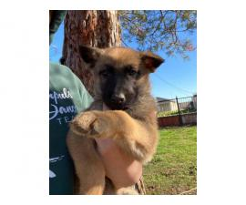 10 Belgian Malinois Puppies for sale