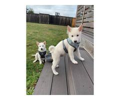 2 Purebred shiba inu puppies great with kids