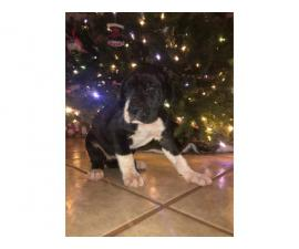 11 Great Dane pups available for Christmas
