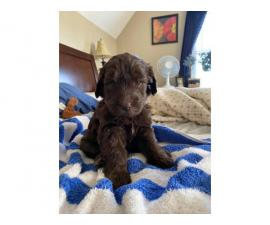 Five girl labradoodle F2 chocolate puppies