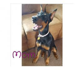 Gorgeous Dobermans for Sale 4 Males and 5 Females still available
