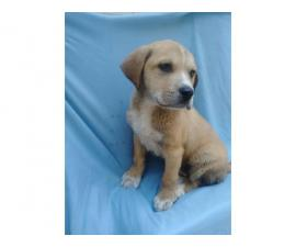 One Male Mastiff / Labrador Retriever Mix Puppy for Sale