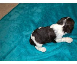 2 males Cocker Spaniels for rehoming