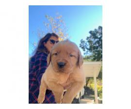 AKC Christmas Golden Retriever puppy