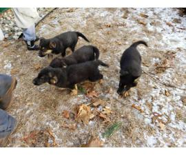 German Shepard puppies Available for Christmas