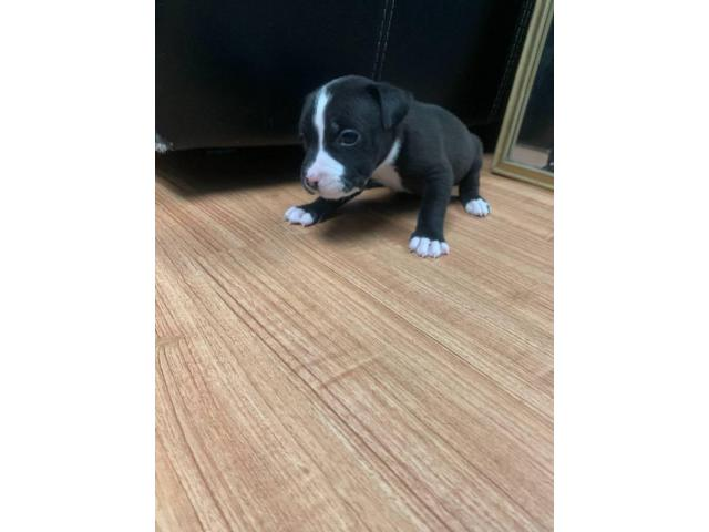5 American Staffordshire Bull Terrier For Sale In Maplewood New Jersey Puppies For Sale Near Me