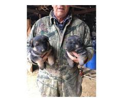Sable German Shepherd puppies for sale