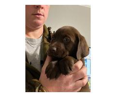 2 Labrador retriever puppies available