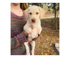 Akc reg. yellow labrador puppy 8 weeks old
