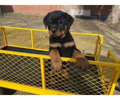 8 weeks old German Rottweiler puppies for sale
