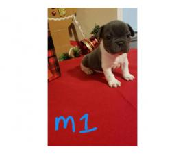 Four AKC male blueFrench bulldogs for sale