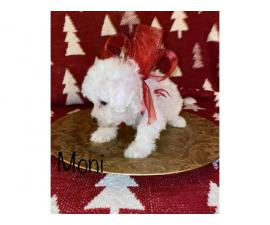 7 week olds Bichon Frise puppies for sale