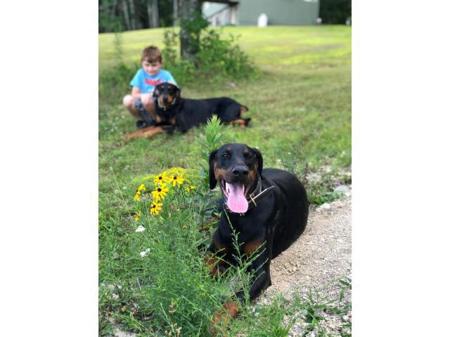 European Doberman puppies 2 litters to choose in Rochester ...