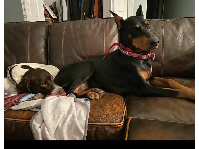 European Doberman puppies 2 litters to choose in Greece