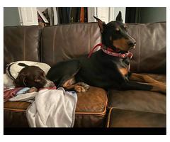 European Doberman puppies 2 litters to choose