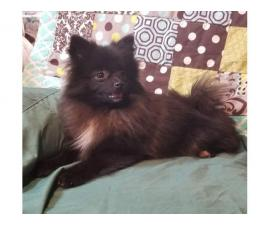 Beautiful male CKC Pomeranian puppy