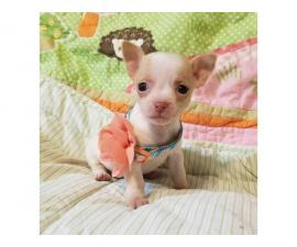 Adorable Chihuahua female pups for sale
