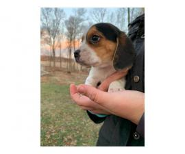 3 female Beagle puppy available for rehoming