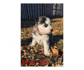 Purebred husky 2 males & 1 female left