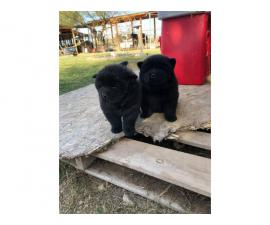 6 weeks old Chow chow puppies for Christmas