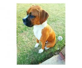 Purebred boxer, 5 months old puppy