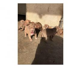 5 Pit bull puppies available for rehoming