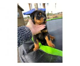 2 months old male rottweiler puppy for adoption