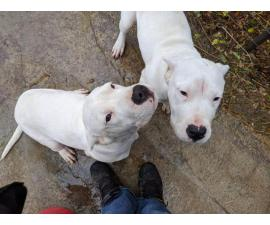 2 female Dogo Argentino puppies for sale