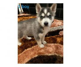 5 Blue Eyes Husky Puppy for Sale
